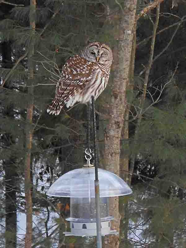 An owl perches on a bird feeder in the backyard of Mimi Hinkel of Cumberland.