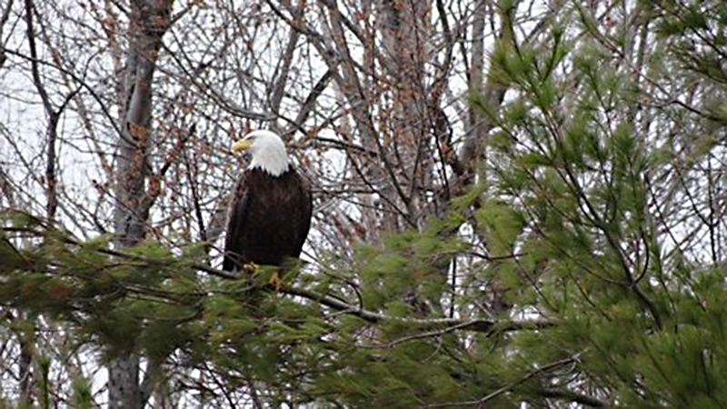 A bald eagle perches in a tree near China Lake. Photo by Chris Cobourn