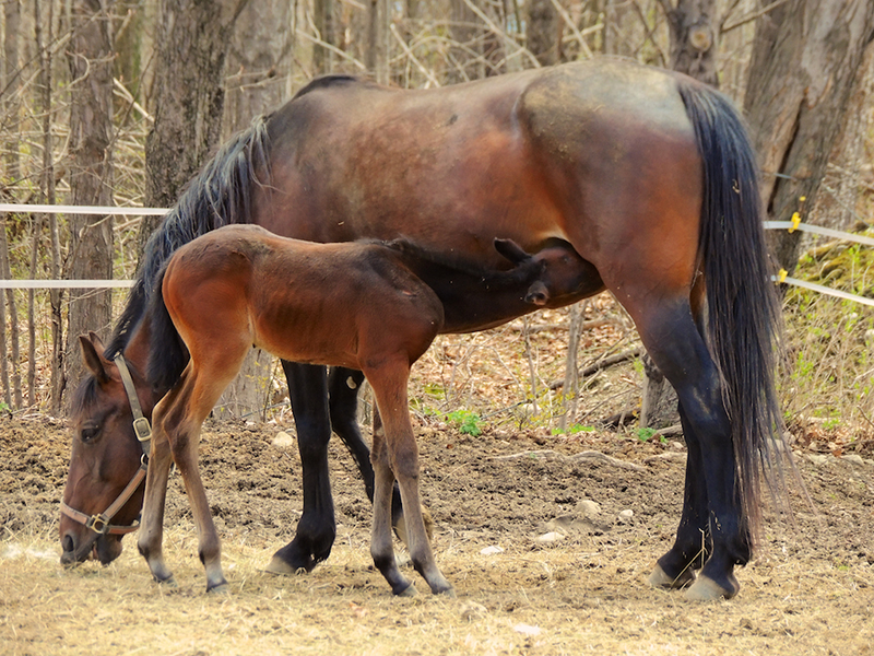 The mares were happily eating while the yearlings nursed or exercised their new legs at the Norton Horse Farm in Falmouth. Photo by Linda Rogoff, Portland.
