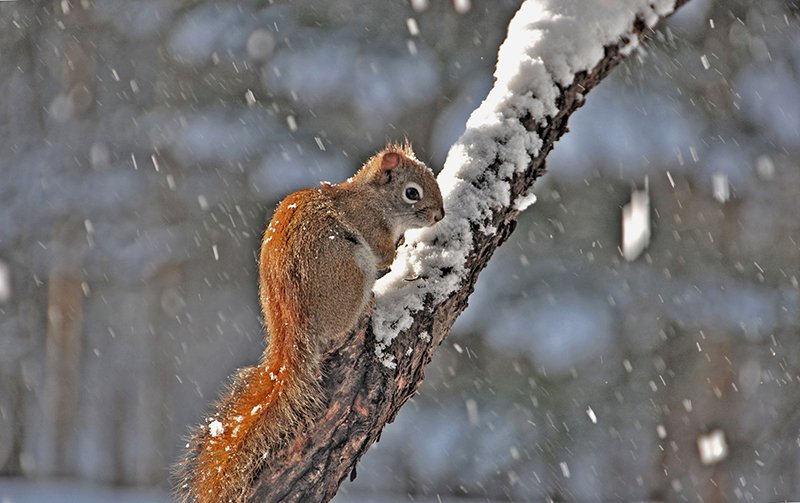 Red squirrel bracing itself against the cold and snow. Photo by Erik Bartlett, Casco.