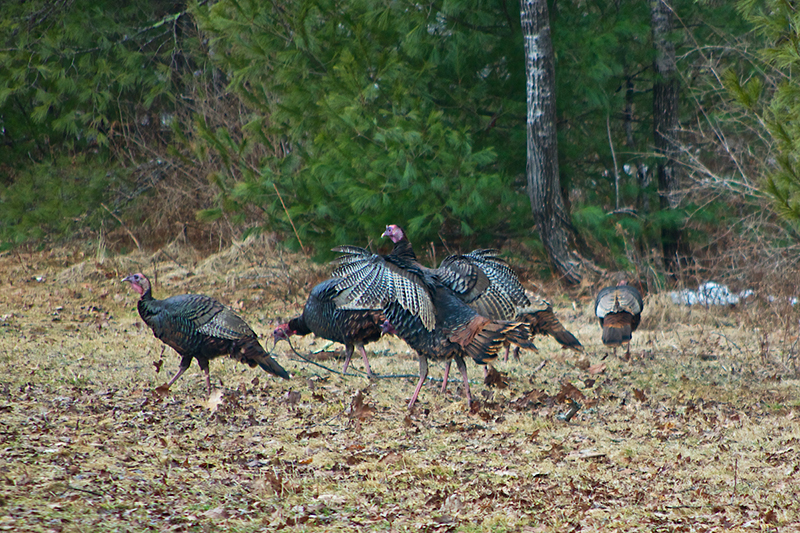 Male turkeys trying to attack a mate in Hollis Photo by Pat Garrett, of Hollis.