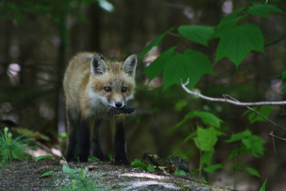 Please consider these photos of the fox kits that are in residence in my neighborhood in Raymond, ME.  They have been playing just outside their den, beside road, for a couple of weeks and seem to fearless of the humans that stop by to watch them.   What Does the Fox Say?  Nothing, they are very quiet.  Thanks,  Bruce Small