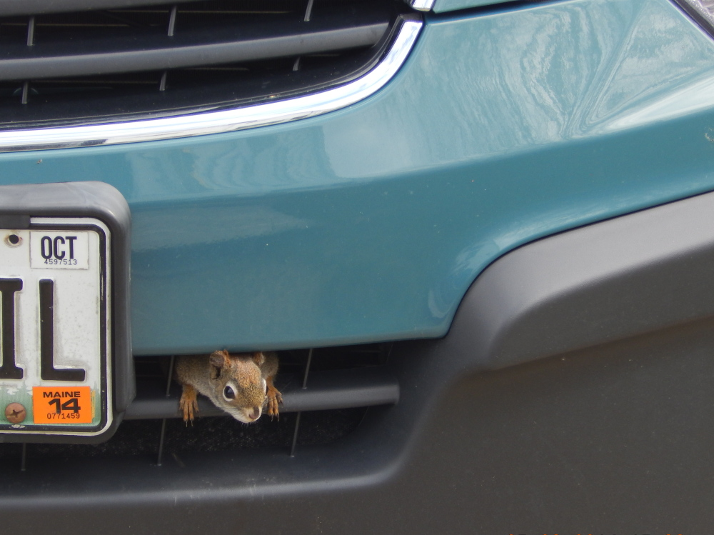 Monica Strobel's car might turn into a mobile home for this little squirrel, who took to hiding in the grill after being chased from the bird feeder in the Bowdoin yard.