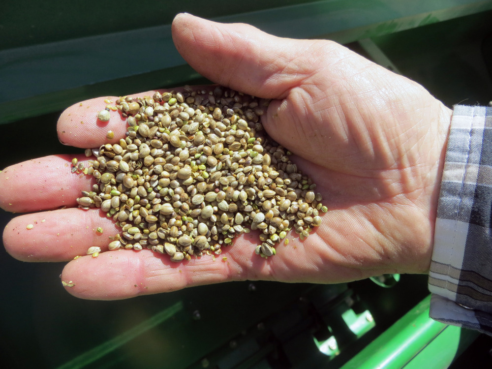 A farmer holds a handful of hemp seeds on a day of planting in Sterling, Colo. Marijuana's square cousin, industrial hemp, has come out of the black market and is now legal for farmers to cultivate, opening up a new and potentially lucrative market. The Associated Press/Kristen Wyatt