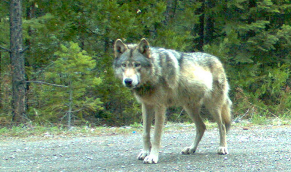 Oregon Department of Fish and Wildlife A gray wolf identified as OR-7 is seen in this May 3 photo taken by a remote camera in Jackson County, Ore. The wolf factored into the California Fish and Game Commission vote to move forward with listing gray wolves as endangered.