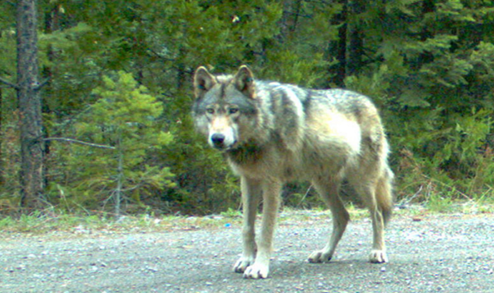 California listing will protect gray wolf portland press for Oregon fish and game