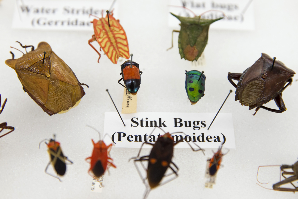 Various bugs are displayed as part of the Drake insect collection at the Smithsonian Natural History Museum in Washington.