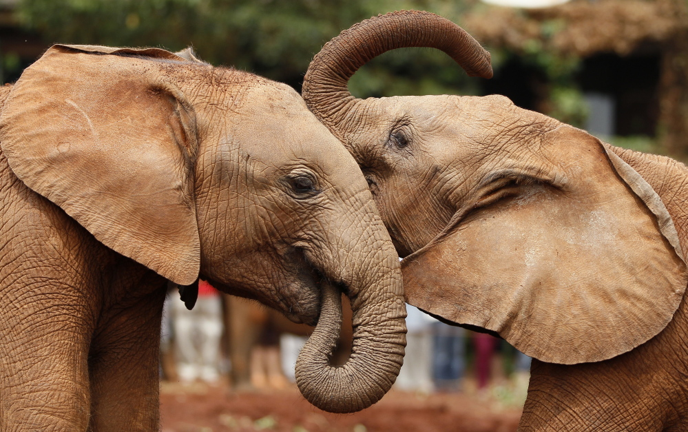 "Orphaned baby elephants play. International wildlife regulators say elephants' plight is ""extremely serious,"" and report that 20,000 were killed in Africa alone in 2013. Poachers usually slay mature elephants for their ivory tusks, but are now more indiscriminate."