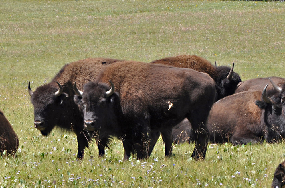 Bison roam in the Kaibab National Forest in Arizona. Controlling a herd in the Grand Canyon is under discussion.