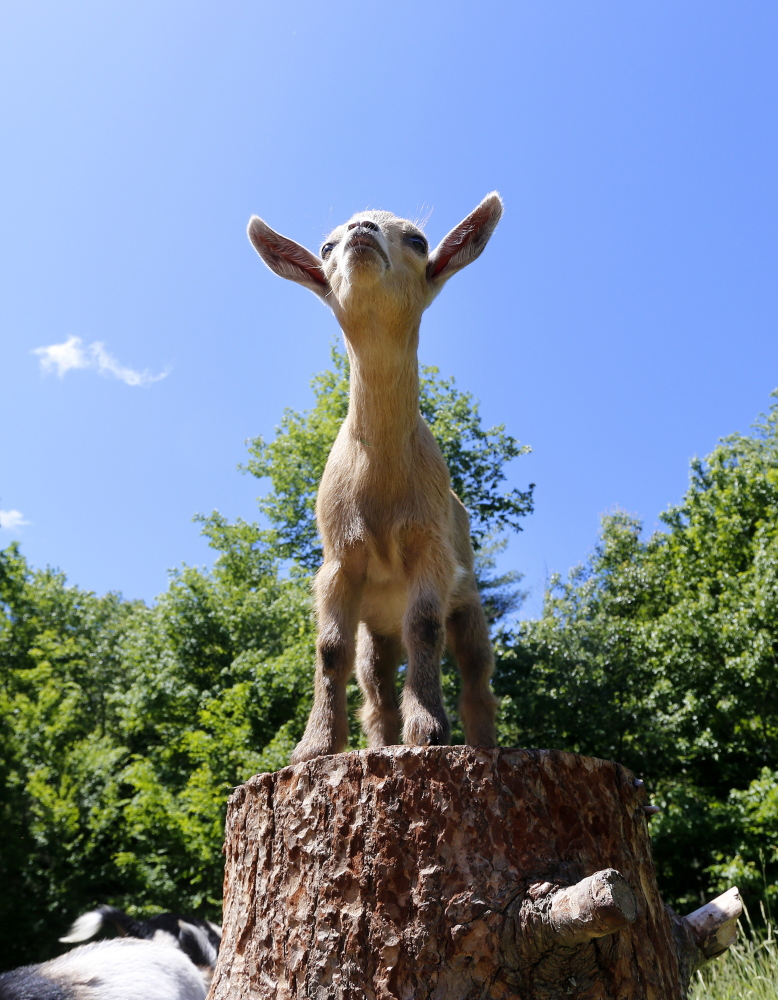 A baby goat take its place on the coveted stump at Sunflower Farm in Cumberland.