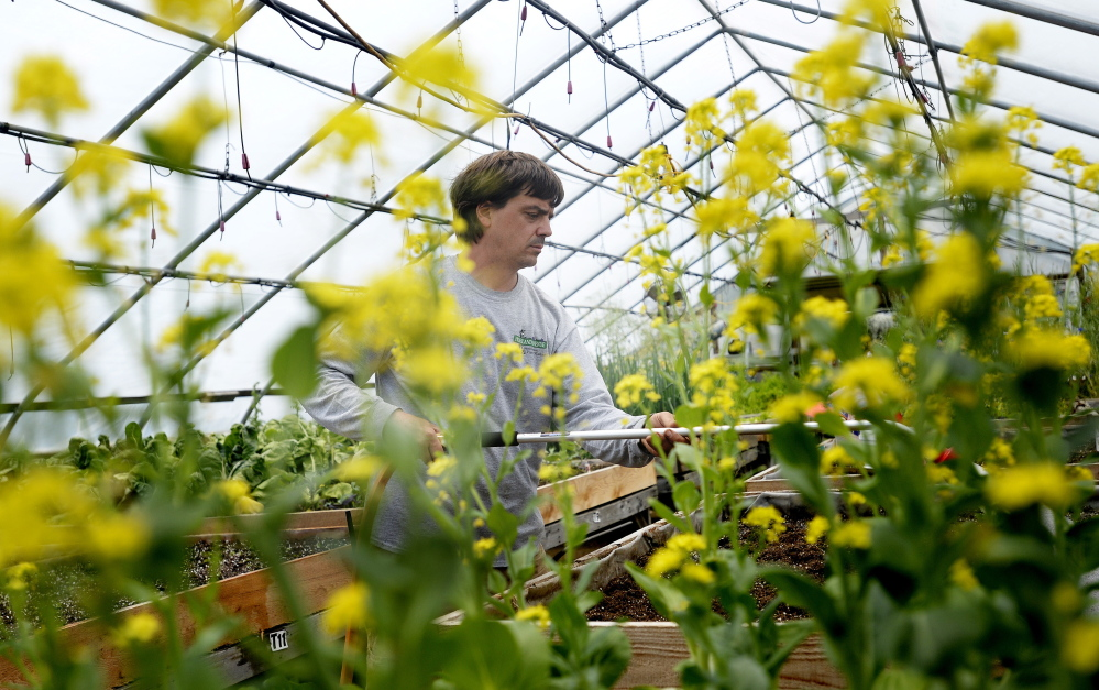 Nursery manager Chad Churchill is framed by pac choi as he waters sugar snap peas Tuesday at Highland Avenue Greenhouse in Scarborough. Co-owner Christine Viscone said the greenhouse's plants are free of neonicotinoids because they are not grown in pretreated soil.