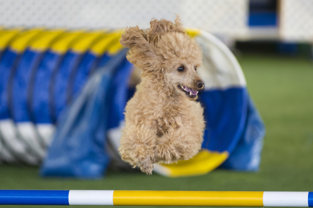 A miniature poodle takes part in an agility trial in Barto, Pa. Agility has grown every year since it was adopted by the American Kennel Club in 1994.