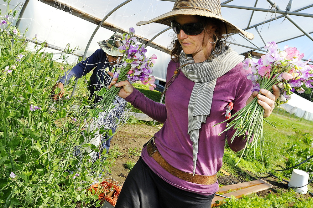Stacy Brenner of Broadturn Farm carries bunches of freshly cut sweet pea flowers to water pails for preservation until their sale.