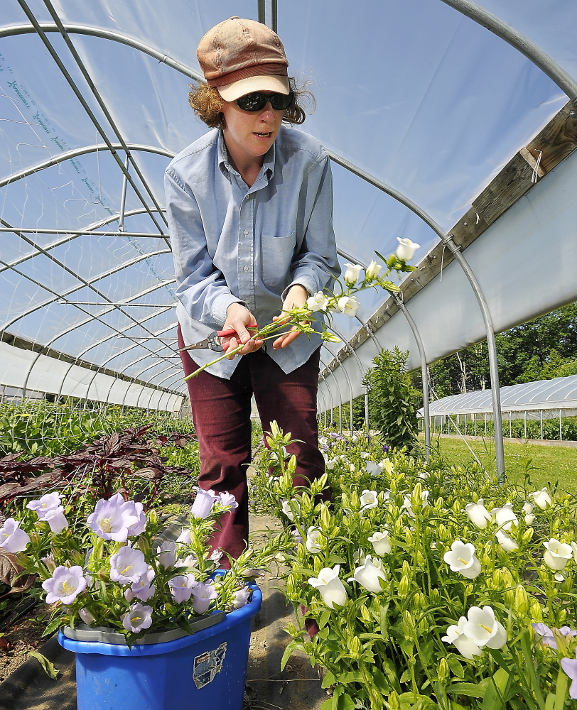 Carolyn Snell trims the leaves from the stems of white and lavender Campanula flowers in the hoop house on the Snell Family Farm in Buxton.