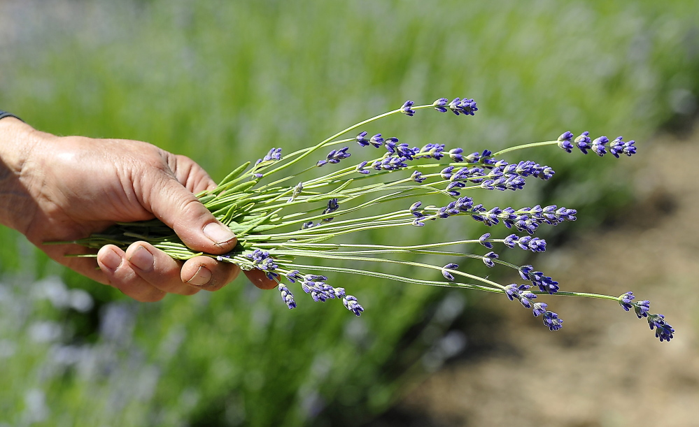 A sprig of fresly cut lavender on the Little River Flower Farm in Buxton.