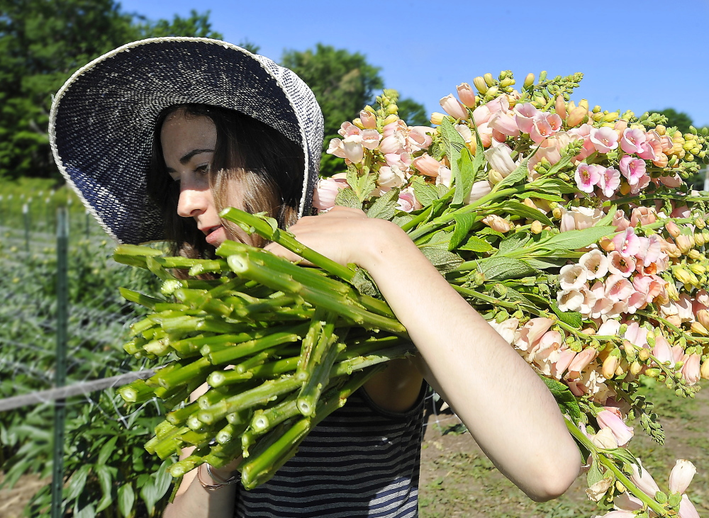 Laura Williams, a worker at Broadturn Farm in Scarborough, carries cut foxgloves from field to workshop.
