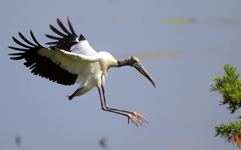 An adult wood stork lands on a branch in Townsend, Ga., on Thursday.