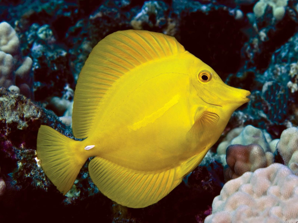 Collectors may sell a yellow tang like this one – the most commonly caught species on Hawaii's west coast – for about $4. As middlemen add costs to store and ship the tropical fish, it might retail for anywhere between $30 and $60.
