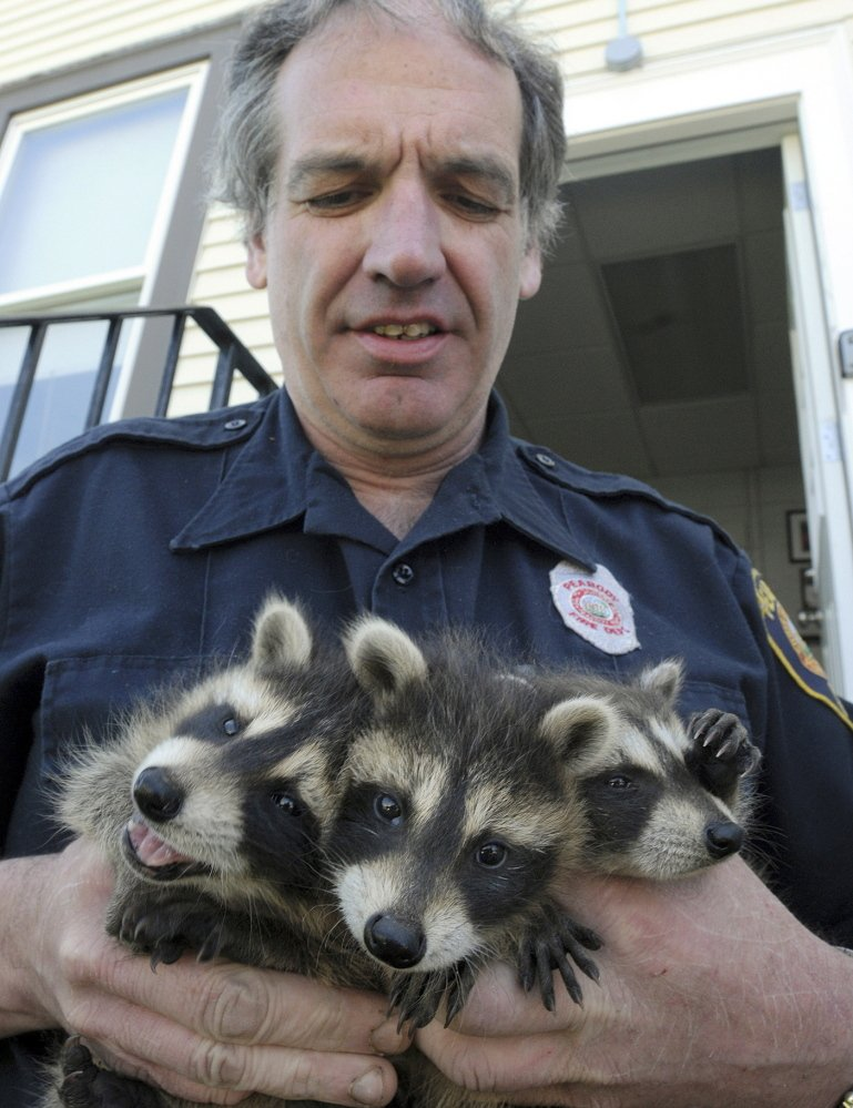 Firefighter John Spofford holds three raccoons he rescued in Peabody, Mass. Spofford, who also owns an auto-repair shop, specializes in rescuing small, orphaned mammals and cares for them until they're ready to re-enter the wild.