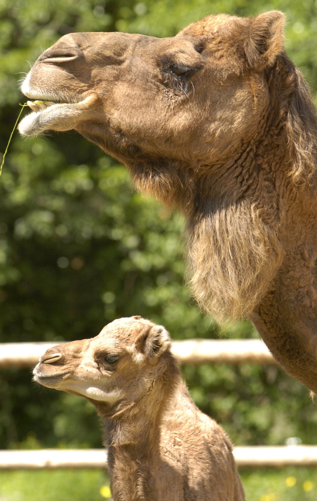 A 44-year-old Saudi Arabian man died in November with Middle East respiratory syndrome, about a month after treating a dromedary camel with nasal discharge, researchers, say. The Associated Press