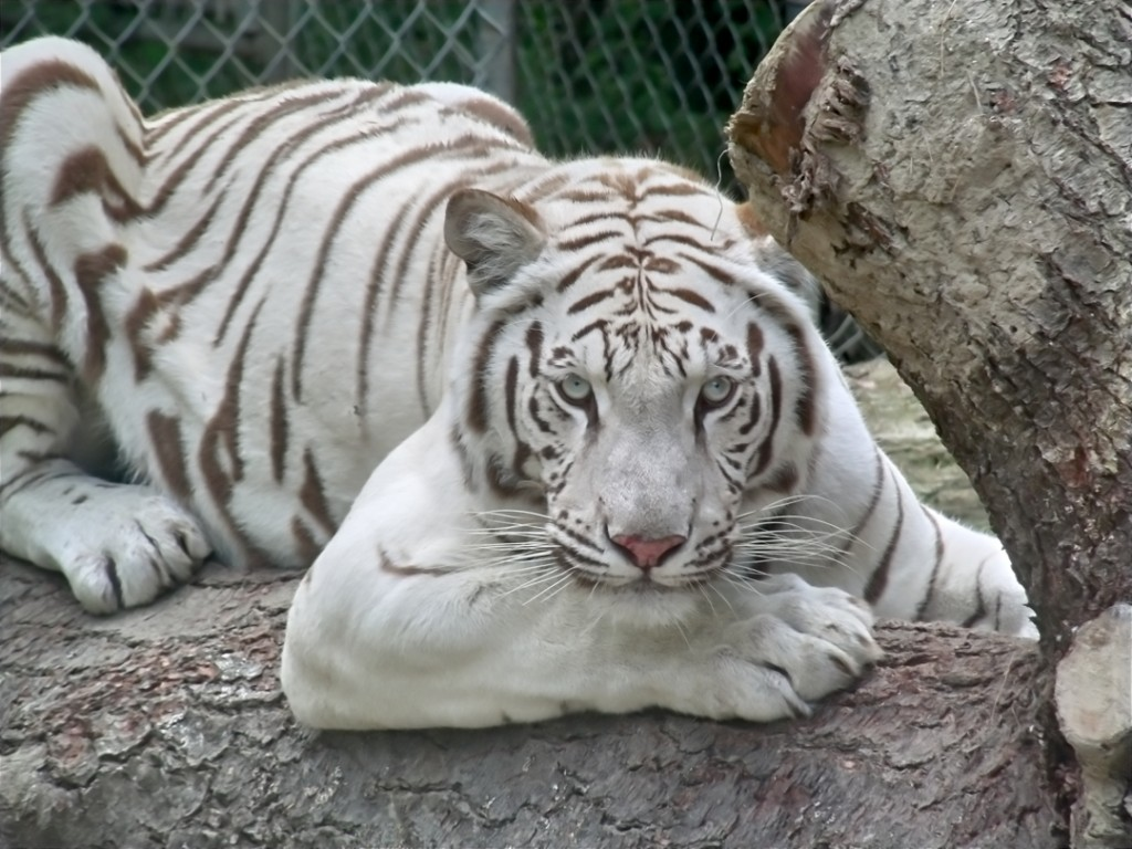 Makeena, a Bengal white tiger and the mother of triplets recently born at a Maine sanctuary.