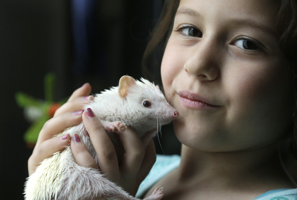 Sophia Crespo, 7, displays her 6-month-old hedgehog Jambalaya. The Associated Press