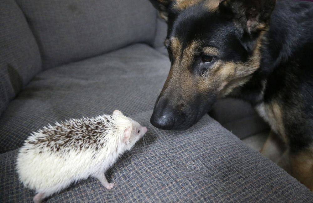 Jambalaya, left, and Ares, a German shepherd, right, face one another at the home of hedgehog breeder and trainer Jennifer Crespo. The Associated Press