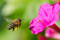 Neonicotinoid pesticides are toxic to bees and other pollinators, according to the EPA and several recent studies.  Shutterstock image