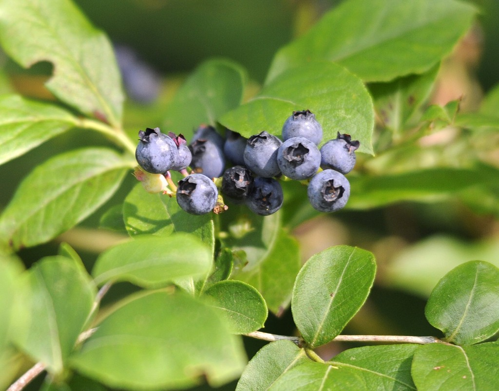 Maine high bush blueberries