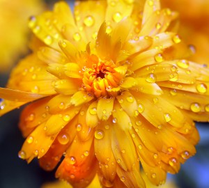 Raindrops rest on a calendula after an afternoon shower in Portland. Tim Greenway/Staff Photographer