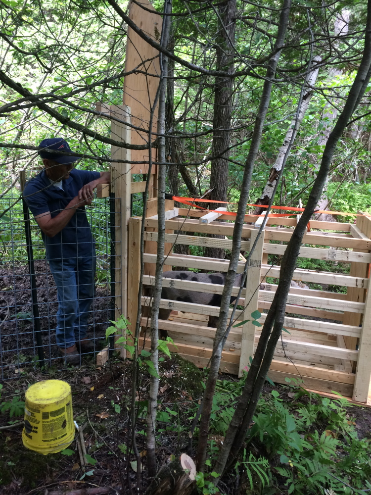 Pat Faucher, Oakland animal control officer, and the cage he and a federal wildlife agent built to hold a domesticated pig recaptured Tuesday after nearly eight weeks of freedom. Contributed photo