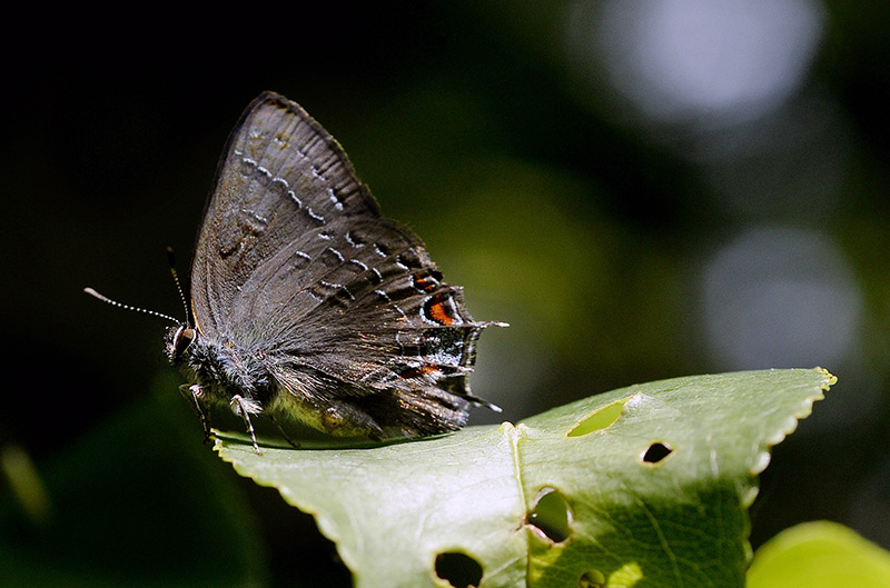 A Banded Hairstreak seen along the Sylvan trail in Saco Tuesday. Shawn Patrick Ouellette/Staff Photographer