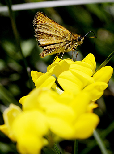 European Skipper seen along the Sylvan trail in Saco Tuesday. Shawn Patrick Ouellette/Staff Photographer