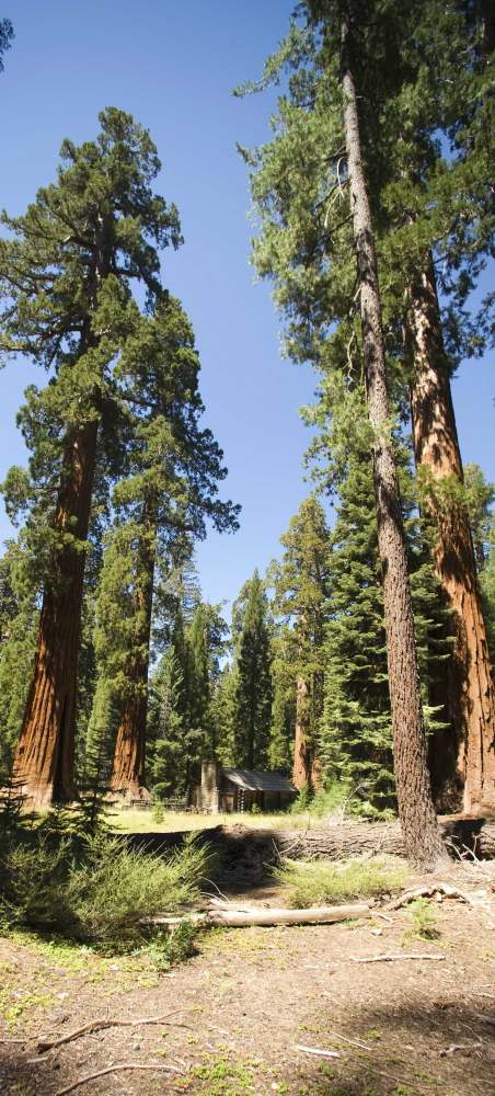Giant sequoias, among the oldest living organisms in the world, tower over the land at California's Yosemite National Park.