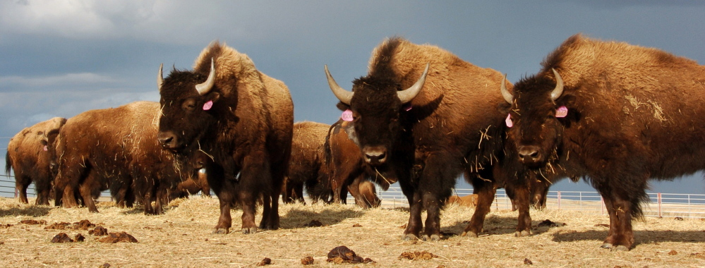 A bison herd is shown on the Fort Peck Reservation near Poplar, Mont. While some would like to see bison reintroduced to more areas of the United States, the idea worries some cattle ranchers who fear disease and competition for grazing lands.