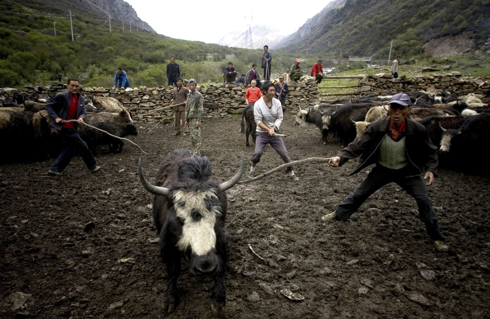 Chinese Tibetan ethnic herdsmen try to catch a yak to sell. Tibetans can thank an extinct human relative for providing a gene that helps them adapt to the high altitude, according to a study released on Wednesday.