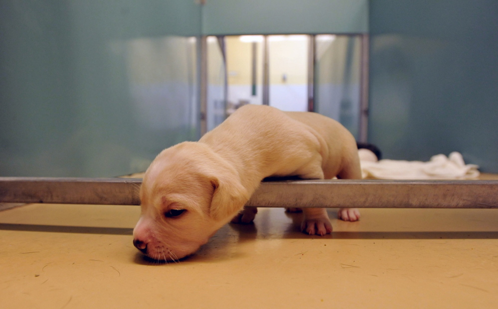 New puppies wait in pen at the Humane Society Waterville Area Wednesday.