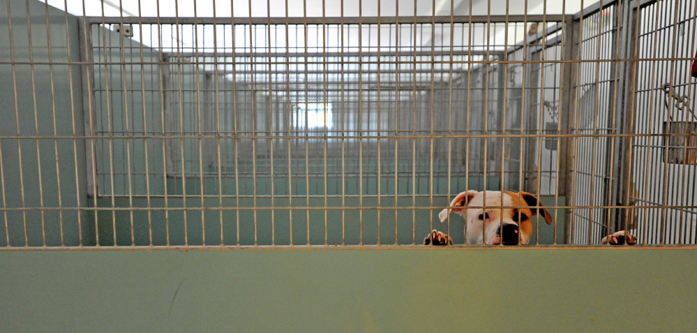 A lone dog peeks over the top of his cage at the Waterville animal shelter on Wednesday.