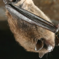 A disease called white nose syndrome has wiped out bat populations in nearby states and is threatening them in Maine.