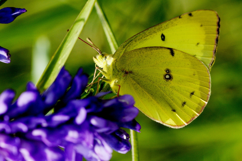A clouded sulphur is among the most common butterflies, and this one perches as a fine photo subject along the Sylvan trail in Saco.