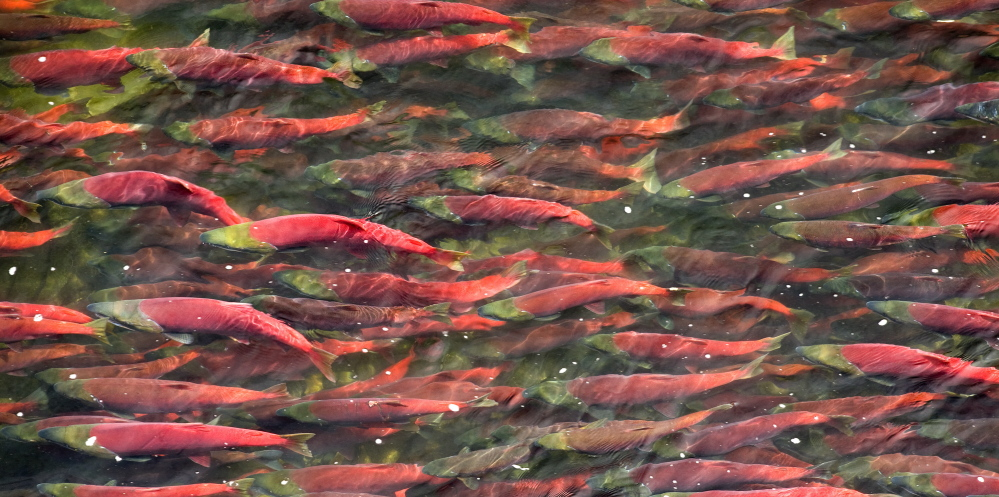 Sockeye salmon swim in a river in the Bristol Bay, Alaska, watershed, home to the world's best wild salmon run.