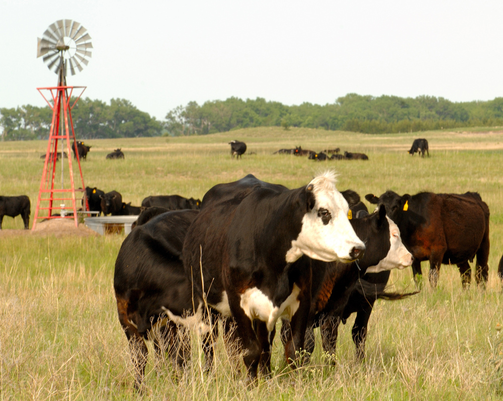 This June 18, 2009 file photo shows cows grazing in Rock County, Neb.
