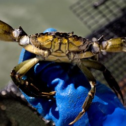 A green crab is held by Coffin as he scours the Harraseeket River in search of the invasive species.