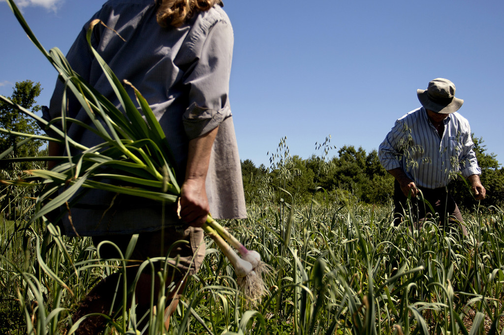 Bailey carries a few heads of garlic as Robert Lemire picks garlic scapes at Seven Tree Farm. Growing garlic began as a hobby for the couple but has quickly ballooned into this commercial field that produces 1,000 pounds of garlic.