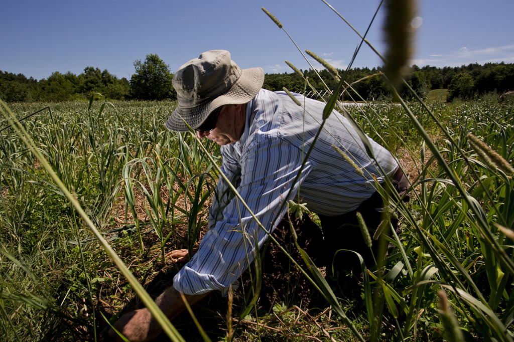Lemire picks garlic scapes in a field at his Vassalboro farm. When the time is right, Lemire will harvest 1,000 pounds of garlic from this field to sell commercially.