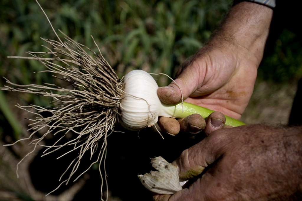 Lemire peels a head of Georgian Fire garlic while standing in a field filled with the vegetables. Each year Lemire rotates his crop of 1,000 pounds of garlic from field to field.