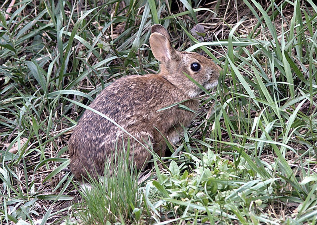 This undated file photo provided by U.S. Fish and Wildlife Service shows a New England cottontail rabbit. DNA analysis of the endangered New England cottontail shows that power line rights of way, railroad edges and roadsides may help support their diminishing habitat. The small, brown rabbit has been declining in the region for decades.