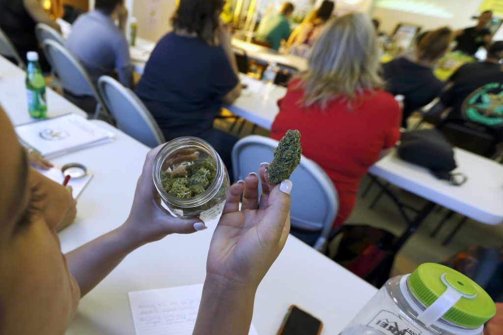 A student examines a sample of the cannabis strain