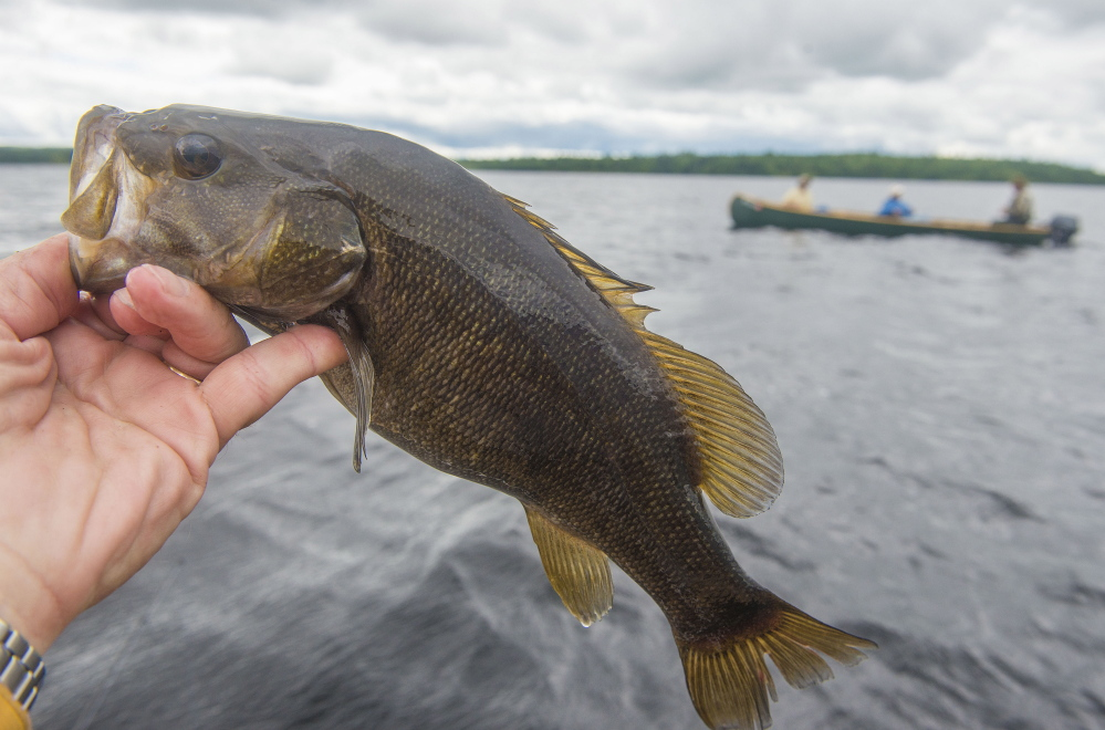 A smallmouth bass caught on a fishing trip to Baskahegan Lake in northern Maine.
