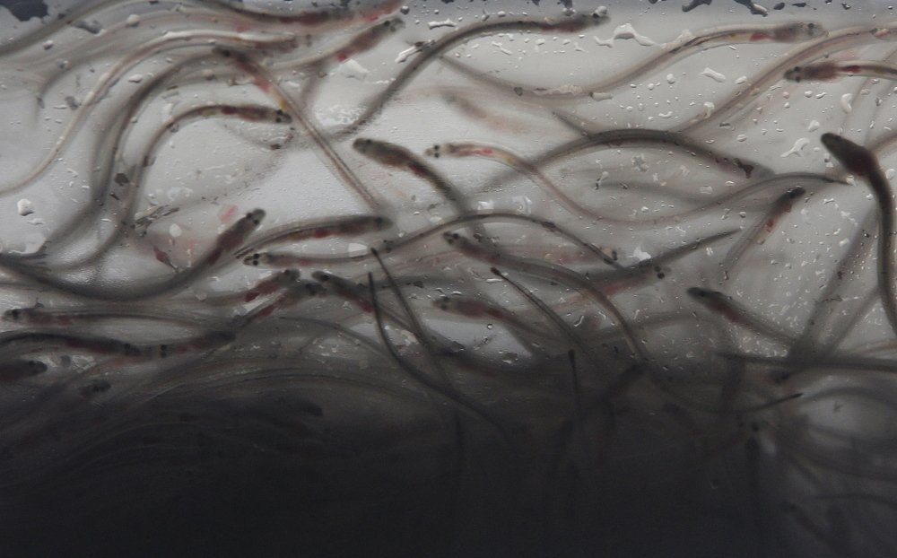The eel population has been depleted, and regulators are considering imposing limits on the fishery.